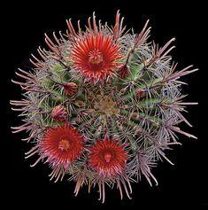 Fire Barrel Cactus (Ferocactus gracilis v. coloratus)