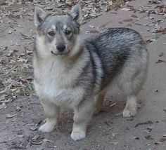 Allow me to present you the Swedish Vallhund, theyre basically WOLF CORGIS