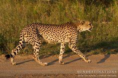 Lone cheetah walks down the road close to nThambo Tree Camp. Can't beat big cat sightings in the Kruger's Klaserie Private Nature Reserve.   #Kruger #cheetah #Klaserie #bigcats #safari