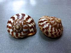 Cychlophorus reevei, Philippines, Set of 2, 25 mm 26,2 mm