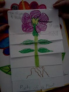 Seed to Plant Foldable
