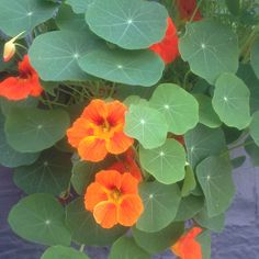 """Tropaeolum majus, commonly known as """"Nasturtium"""" has origins in South America, and was later grown by Thomas Jefferson at Monticello. Besides being beautiful, it is 100% edible!  The leaves taste similar to mustard greens and horseradish, the stems have notes of citrus, the flowers delicately sweet, and the seeds compared to capers. Nasturtium can be used to make pesto or salad, and has similar health benefits to other brassica plants such as broccoli and cauliflower."""