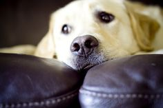 Yellow lab: Just the cutest & a girl's best friend :) Mans Best Friend, Girls Best Friend, Best Friends, I Love Dogs, Puppy Love, Cute Dogs, Golden Retrievers, Labrador Retrievers, Yellow Lab Names