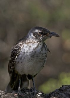 Galapagos Islands Mockingbird by James Seith Photography, via Flickr