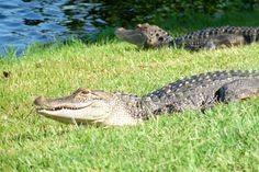 Wild alligators Black Hammock Airboat Rides Orlando