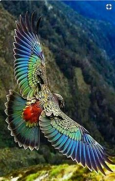 Parrot found only in the South Island of New Zealand and the only alpine pa… Kea. Parrot found only in the South Island of New Zealand and the only alpine parrot in the world! Pretty Birds, Beautiful Birds, Animals Beautiful, Cute Animals, Funny Animals, Beautiful Butterflies, Beautiful Pictures, Animals Amazing, Beautiful Gorgeous
