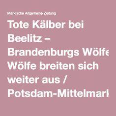 Tote Kälber bei Beelitz – Brandenburgs Wölfe breiten sich weiter aus / Potsdam-Mittelmark / Lokales - MAZ - Märkische Allgemeine