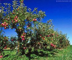 backyard orchards on pinterest orchards apple tree and backyards