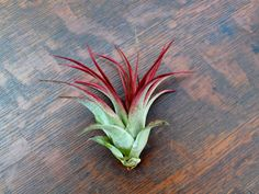 One of my personal favorite air plants, the Brachycaulos x Abdita. Look at that red!