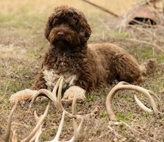 Light brown portuguese water dog - photo#15