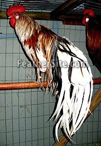 Japanese Phoenix Japanese Phoenix, Chicken Breeds, Color 2, Pigeon, 2 Colours, Poultry, Raising, Backyard, Fancy