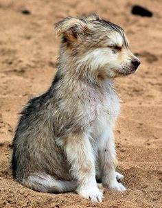 Wolf Pup on the Beach