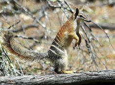 The numbat is the most evolutionarily distinct marsupial in the world, having no real living relatives. In fact, its closest relation is the now-extinct Thylacine, or Tasmanian tiger. It is one of only two marsupials that is diurnal, has no pouch, and is the only marsupial and feeds exclusively on social insects. Once widespread throughout Australia, it is now extinct in 99% of its former range.