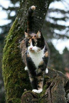 : The rare tree dwelling Calico cat.The rare tree dwelling Calico cat. : The rare tree dwelling Calico cat. Pretty Cats, Beautiful Cats, Pretty Kitty, Cute Kittens, Cats And Kittens, Cats 101, Ragdoll Kittens, Tabby Cats, Siamese Cats