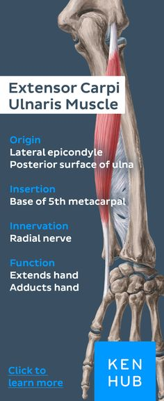 This muscle's insertion is located at the base of the fifthmetacarpal bone, where it extends and adducts the hand. #anatomy #muscles