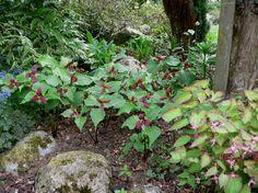 Trillium erectum (Rode boslelie) - Schaduw 40 cm april-mei