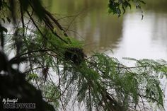 Bird's nest, Nid d'oiseau Agboville, Côte d'Ivoire – September 2015 This bird's nest shows how birth is one of the most beautiful manifestation of life… –…