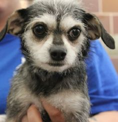 How sweet is this little angel? Abigail could be the perfect fit for your family. Meet her at @North Shore Animal League America