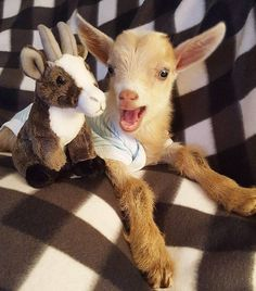 Pocket the goat was born without legs, but Goats of Anarchy is helping him walk again.
