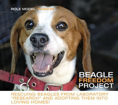 """ROLE MODEL: PASSION – BEAGLE FREEDOM PROJECT  Rescuing Beagles from laboratory """"research""""  and adopting them into loving homes!"""