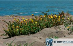 """Thunder Island"" Yellow flowering ice plants in sand dunes by the blue water."