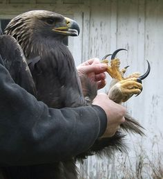 eagle claws - Google Search Animals Eating Other Animals, Animals And Pets, Wildlife Photography, Animal Photography, Eagle Talon, Safari, Golden Eagle, Beautiful Friend, Picture Credit