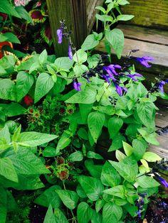Blue violet salvia