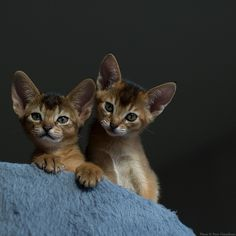 Brother Sister 3 --- ruddy Abyssinian kittens