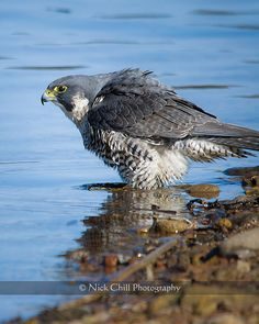 Peale's Peregrine Falcon, in the water by Nick Chill ~ San Diego, CA ~ #birds #nature