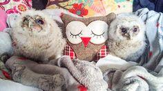 Lehtopöllöt adoptoivat äidikseen pehmolelun.  Copyright: Caters News Agency Ltd. Kuva: Mercury Press and Media Ltd.