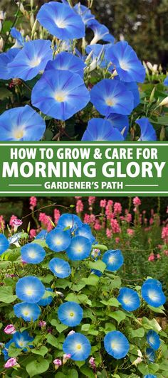 Morning glory vines are one of the most favored old-fashioned flowers for cottage gardens. They are easy to grow and require little care or attention once established. But there are a few tricks and t Morning Glory Plant, Morning Glory Flowers, Morning Glories, Volubilis, Outdoor Plants, Garden Plants, Outdoor Spaces, Good Night Moon, Garden Cottage