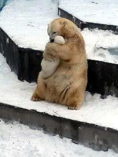 WHY THIS PHOTO OF A POLAR BEAR HUGGING HER CUB ANYTHING BUT ADORABLE  READ ARTICLE ATTACHED
