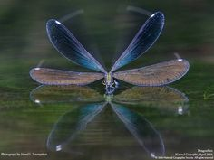 Nose Dive!  National Geographic - Dragonflies