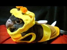 """""""Conure in bee costume."""" This is vasa parrot not a conure Animals And Pets, Baby Animals, Funny Animals, Cute Animals, Wild Animals, Funny Birds, Cute Birds, Funny Bird Pictures, Funny Parrots"""