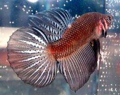 Betta Fish Awareness Day: Betta Fish Care: Betta Splendens Tail Types (Article)