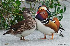 Pair of Mandarin ducks Canard Mandarin, Mandarin Duck, Most Beautiful Animals, Beautiful Birds, Pretty Birds, Love Birds, Aix Galericulata, Animals And Pets, Cute Animals