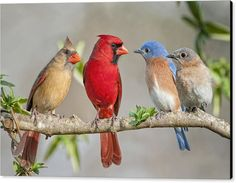 Bluebirds Canvas Print featuring the photograph The Bluebirds Meet The Redbirds by Bonnie Barry