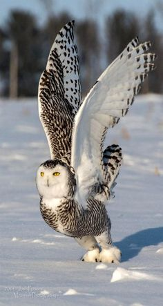 Owls - Snowy Owl Launch - by Josh Parsons on 500px