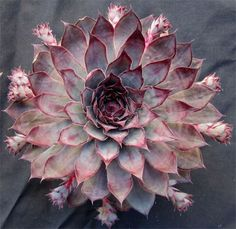 Sempervivum 'Purple Haze'