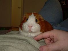 Picture of Teach your guinea pig to RUN IN A CIRCLE