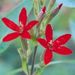 Silene  Silene selections    Light:      Sun,Part Sun  Plant Height:      2-48 inches tall, depending on variety  Zones:      3-9  Plant Type:      Perennial
