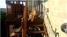 Watch how this dog helped her friend overcome her phobia of steps. Bronte is a Golden Labrador who was afraid to go down any stairs. Mountains In Tennessee, Golden Labrador, Garden Steps, Phobias, Yorkshire Terrier, Stairs, Dogs, Animals, Yorkshire Terriers