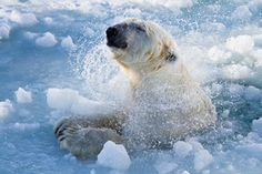 No polar bears on the streets but there's one place where you can observe these magnificent animals.