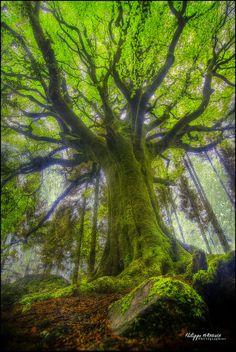 A Mammoth Mossy Beech Tree of Ponthus', Bretagne France