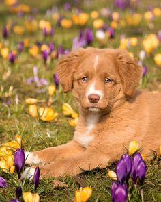 Super Cute Puppies, Cute Baby Dogs, Cute Dogs And Puppies, Unique Dog Breeds, Nova Scotia Duck Tolling Retriever, Puppy Grooming, Cute Puppy Pictures, Cute Animal Videos, Cute Gif