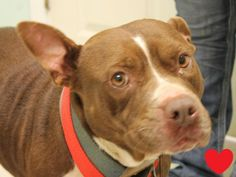 Meet PHOEBE, a Petfinder adoptable Pit Bull Terrier Dog | Many, LA | The fee to adopt a dog is $75. This fee includes the spay or neuter surgery, deworming, rabies...