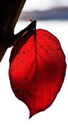 The one red leaf, the last of its clan, That dances as often as dance it can, Hanging so light, and hanging so high, On the topmost twig that looks up at the sky. ~Samuel Taylor Coleridge
