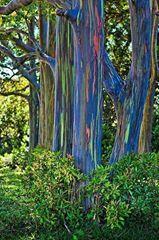'Rainbow eucalyptus tree'