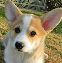 The Queens corgis — What a handsome little Wilson at...