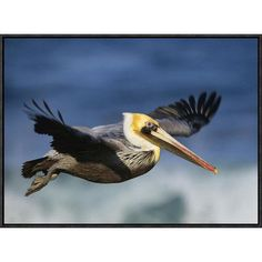 Global Gallery Brown Pelican Flying, North America by Tim Fitzharris Framed Photographic Print on Canvas Size: